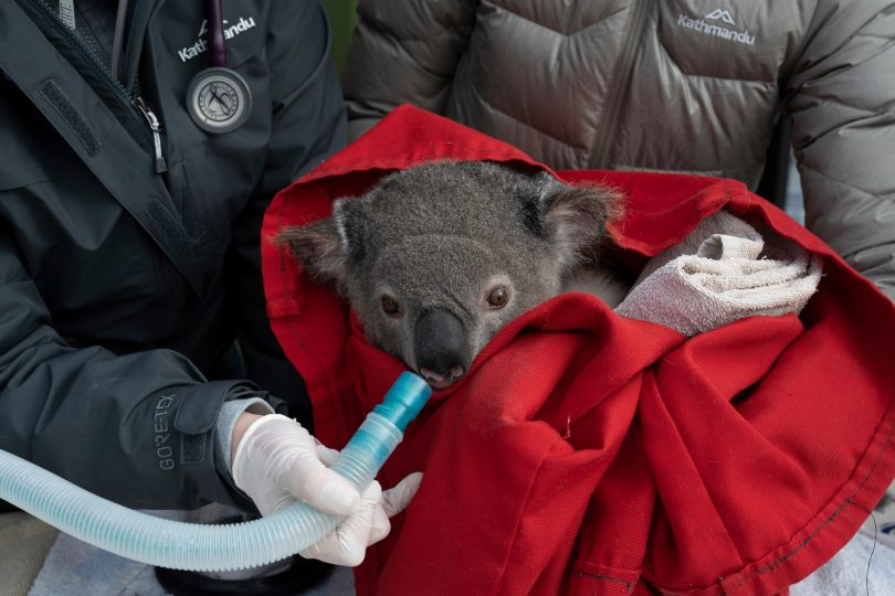 A koala is checked over by a vet ahead of its release at the Two Thumbs Wildlife Trust's koala sanctuary.